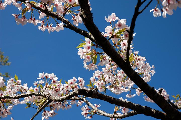 26阿里山櫻花