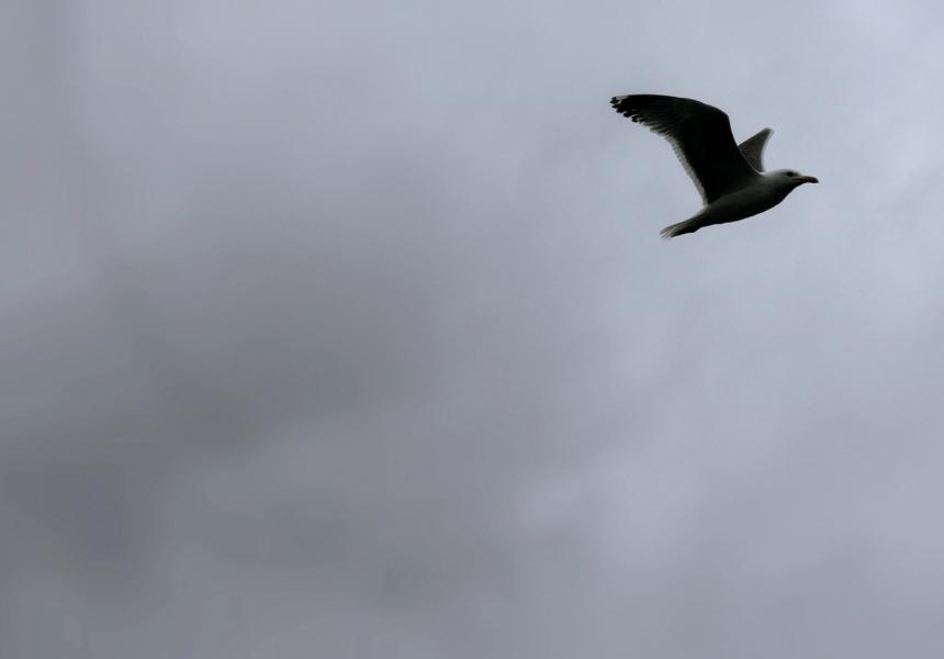seagull burevest