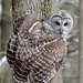 barred owl von steve courson