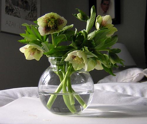 lenten-roses