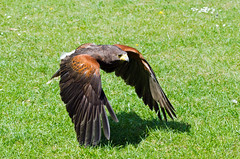 Flying Low - Bird of Prey (SparkleHedgehog) Tags: uk trees portrait england sky sun tree bird eye nature up sunshine birds closeup by butterfly lens fly flying eyes nikon shine close shot eagle feeding action britain head eating hawk united great norfolk flight beak feather parrot kingdom sunny headshot lincolnshire chick eat butter parakeet owl falcon gb prey feed bye vr flutterby harrier flutter beaks preys d7000 thewonderfulworldofbirds