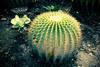 "Xương Rồng Kim Hổ ""Echinocactus Grusonii"" (Hang Duong) Tags: kim echinocactus grusonii rồng hổ xương"