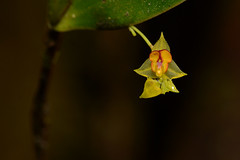 Orchid (ggallice) Tags: orchid wayqechabiologicalstation andes mountains peru cusco cloudforest bosquenublado southamerica