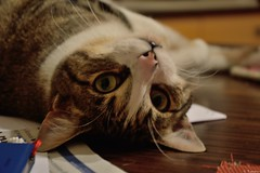 Happy Carturday ! (Mystycat =^..^=) Tags: chat cat gato gatto kitty katze animal feline félin coth5 ruby3