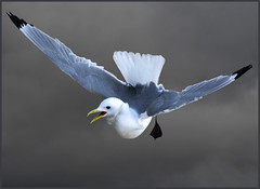 Kittiwake hovering against  stormy North Sea clouds (rissa tridactyla) (hawkgenes) Tags: uk nature birds wildlife seabirds kittiwake rissatridactyla colorphotoaward vosplusbellesphotos hawkgenes