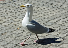 Poser :-) (alphazeta) Tags: pink seagulls white black bird birds yellow stone grey scotland poser pavement seagull beak feathers posing aberdeen strutting pinkfeet blackfeathers whitefeathers blockpaving digitalcameraclub yellowbeak greyfeathers thewonderfulworldofbirds