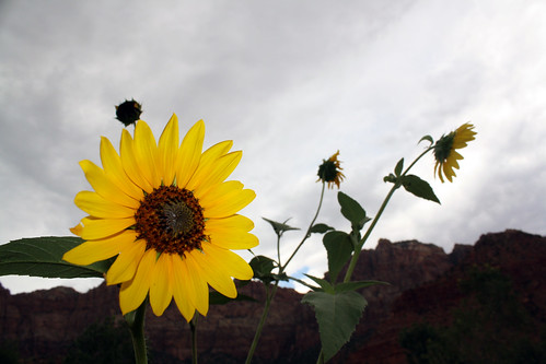 Sunflowers in Zion.