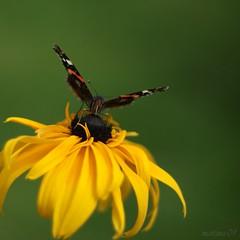 playing with my 50mm... (martinalinnea) Tags: butterfly 50mm redadmiral rudbeckia 2009 fjril vanessaatalanta fav10 bej alafors macromarvels amiralfjril 2009inmygarden lebrcke lebrckevgen