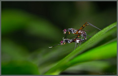090823-03 (Taiwan-Awei) Tags: awei750 taiwanawei insect nature ecology macro elf summer bug green ecological wild tropical garden 自然 生態 昆蟲 微距 awei featured 林敬偉