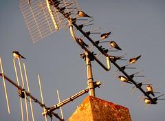Sunset Song (manu/manuela) Tags: ocean roof france birds tetto camino atlantic swallow toit ornithology hirondelle hirundorustica oiseaux chemine atlantico rondine chemney leder leicalens rauchschwalbe hirondellerustique golondriacomn