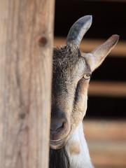 [フリー画像] [動物写真] [哺乳類] [山羊/ヤギ] [覗く/見る]       [フリー素材]