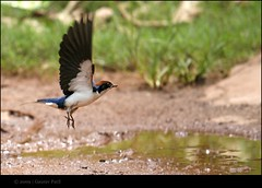 Swallow in Flight.. [ Explore ] (Gaurav_Patil) Tags: bird wings flight 30d wiretailedswallow 55250 tadka09wk35