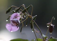 Drops in the dawn light (Steve-h) Tags: flowers canon eos droplets bokeh buds balsam 500d steveh canonf28100mmusmmacrolens