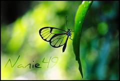 Mariposa Transparente, Iguazu, Argentina. (nanie49) Tags: southamerica argentina argentine butterfly nikon papillon mariposa iguazu macrophotography iguau amriquedusud americadelsur d80 colorphotoaward