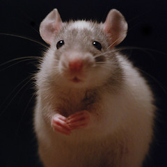 Milhouse :] (EmpireOfDirt) Tags: baby cute rat milhouse