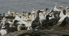 Gannets (Donald Morrison) Tags: bird atlantic tradition fishingboat guga ness gannet northerngannet morusbassanus petermay sulasgeir theblackhouse nisach