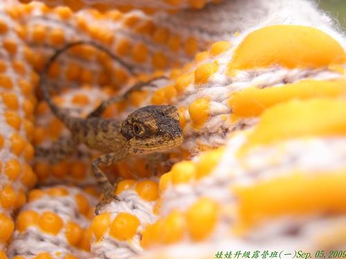 你拍攝的 29攀木小蜥蜴。