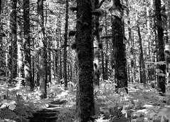 Temperate Rain forest (missmerv) Tags: trees leaves alaska forest moss woods spruce cordova acg1stplacewinner