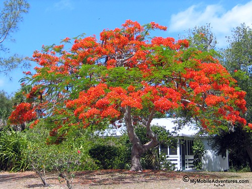 IMG_4434-Royal-Poinciana-Cabbage-Key