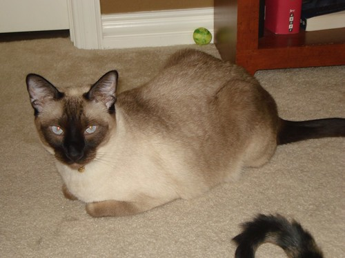 She is a female Breed Unknown/Tonkinese cat.