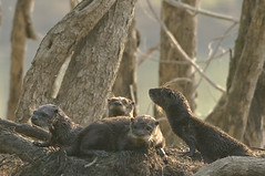 River Otters (digiphotonut) Tags: nature indiana mammals otters oxbow riverotters otterfamily