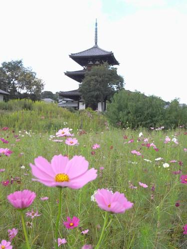 法起寺三重塔とコスモス-04