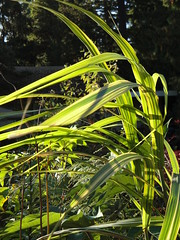 Miscanthus Gilt Edge