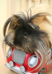 Anyone Like a Lift???????????????? (Roszita) Tags: animal closeup guineapig mywinners scarletrose77 roszita