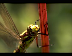 Dragonfly HDR (Chris McLoughlin) Tags: uk wild england macro nature closeup insect day dragonflies dragonfly wildlife sony yorkshire tamron hdr northyorkshire a300 70mm300mm sonya300 tamron70mm300mm sonyalpha300 alpha300 chrismcloughlin boltonpearcy boltonpercystationnaturereserve
