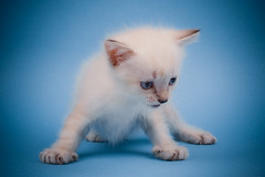 X Marks the Spot (Sergiu Bacioiu) Tags: blue pet cats baby pets white playing cute beautiful animal horizontal standing cat studio fur one furry kitten feline pretty looking view shot little fuzzy sweet expression background small pussy young adorable kitty posing kittens spot x whiskers domestic stare curious charming breed haired isolated carnivore pedigree lovable purebred