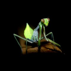 Praying mantis... surprised in the jungle (Lucie et Philippe) Tags: voyage trip travel sarawak borneo philippe insecte malaisie langel mantereligieuse