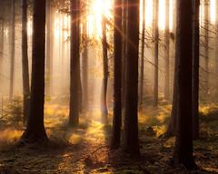 illuminated forest (skoeber) Tags: autumn trees light sun tree fall forest sunrise 50mm licht woods nikon herbst sonne wald bume sonnenaufgang baum sonnenstrahlen sunbeams d90 colditz nikond90