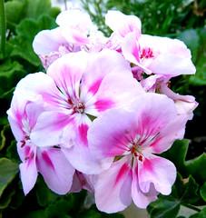 Pelargonium (megegj)) Tags: flowers garden blumen tuin garten bloemen gert