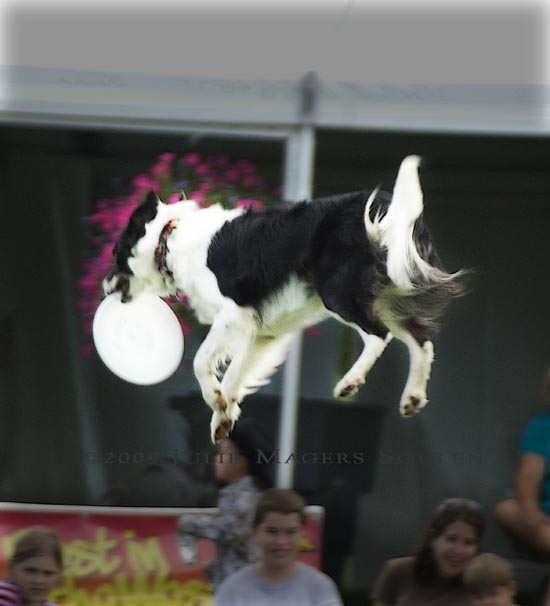 A dog is totally airborne after catching the flying frisbee.