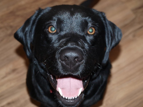 Alfie - black Labrador Retriever
