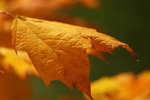yellow leaf3