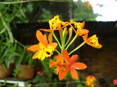 Orquídea 29