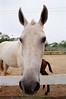 Mamãe (Marcelo M P Mariano) Tags: horses foto sp e cavalos clube nikonf80 fotoclube sigma2470mmf28dgmacro urbanova fisp fujicolorprovalue200 sãojosédoscampossp hípicaunivap wwwmarcelompmarianocombr