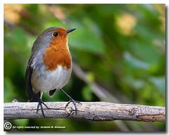 I am Back (European Robin) (ibrahem N. ALNassar) Tags: bird robin birds 30 canon eos european d n l kuwait usm f56 society ef osk 400mm potofgold ornithological alnassar anawesomeshot ibrahem