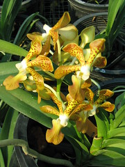 ASCDA CANNY GOLD x insignis (B)