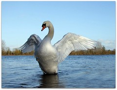 Beauty and grace! (macfudge1UK) Tags: uk autumn england lake bird nature water fauna swan wings europe wildlife ngc waterbird lakeside 500views waterfowl 2009 oxfordshire oxon muteswan birdwatcher cygnusolor lateafternoonlight stantonharcourt cotcpersonalfavorite allrightsreserved specanimal mywinners abigfave countryfile superaplus aplusphoto avianexcellence diamondclassphotographer flickrdiamond citrit theunforgettablepictures goldstaraward tup2 goldstarawardgoldmedalwinner abwaterbirds s100fs fujifilmfinepixs100fs 100commentgroup alittlebeauty bestofmywinners