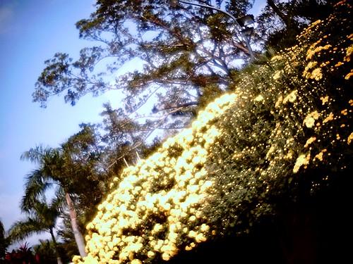 2009士林官邸菊花展