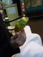 What a ham (gucky) Tags: bird budgie 2009 gooseboots