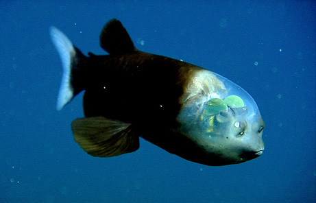 09_090223-01-fish-transparent-head-barreleye-pictures_big