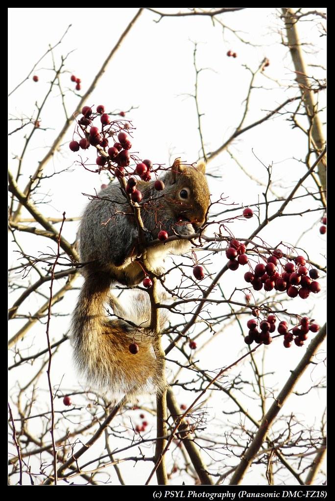 Douglas Squirrel (Tamiasciurus douglasii)