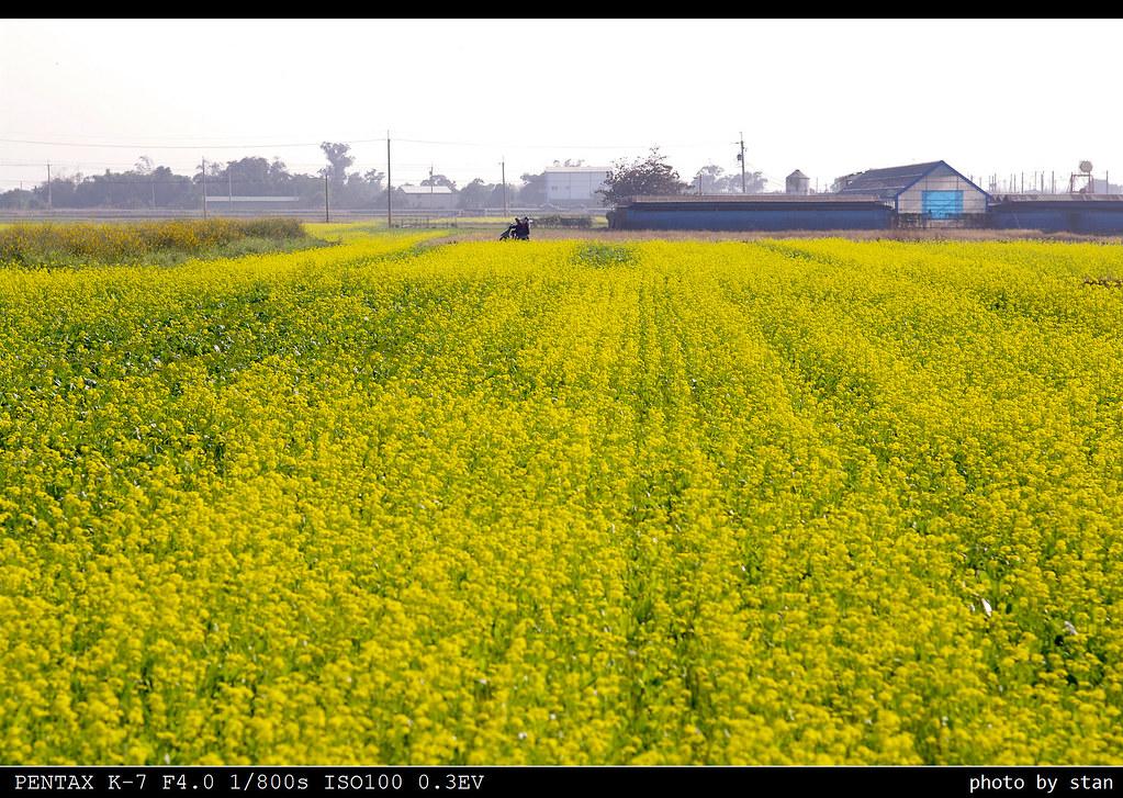 台南冬天,油菜花的季節。(照片+影片)