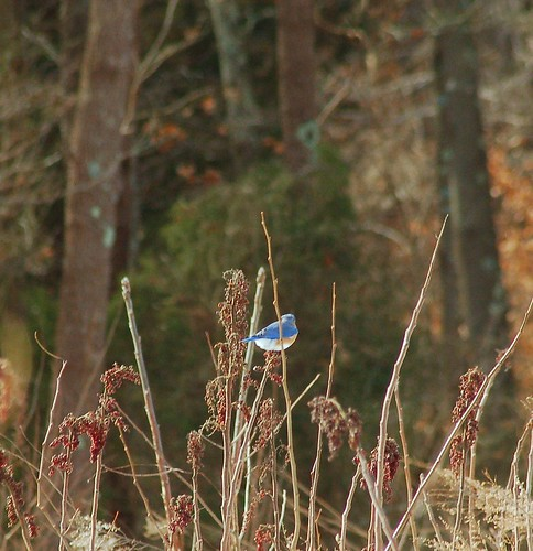 Bluebird hanging on in the wind