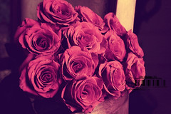 (- M7D . S h R a T y) Tags: roses color جـوري wordbyme ®allrightsreserved™ pinkyroses وردجــوري redrosesbokeh