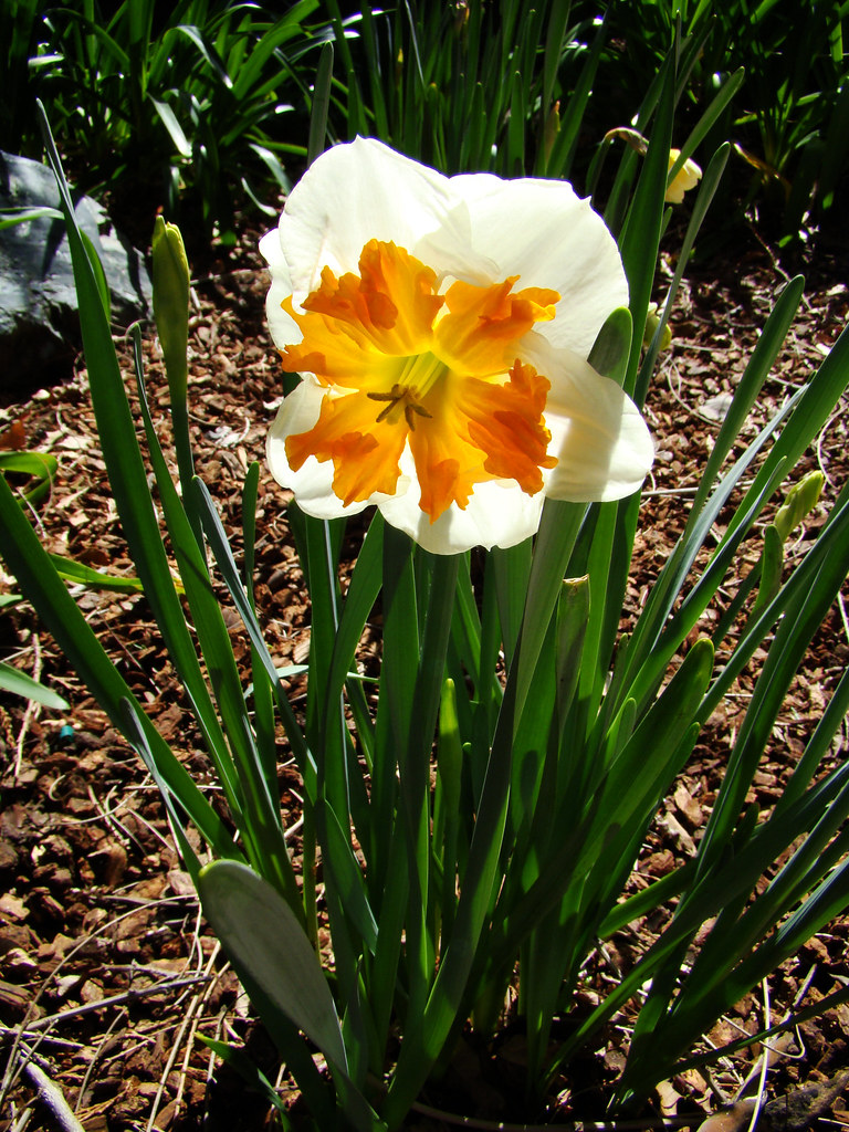 DSC05132 double narcissus sooc