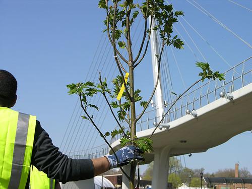 2011 Arbor Day Greenway tree bridge